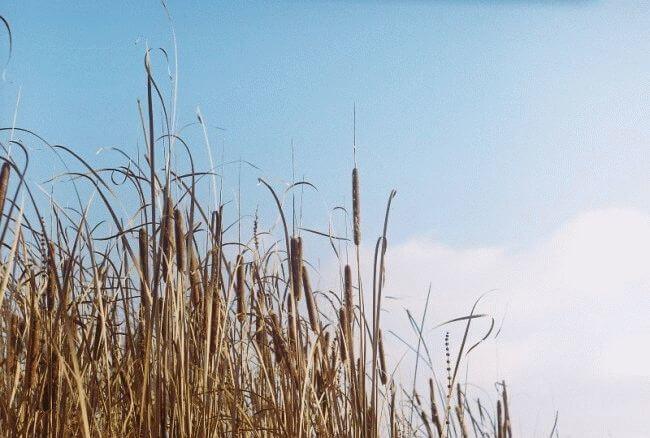 Небо и тростник